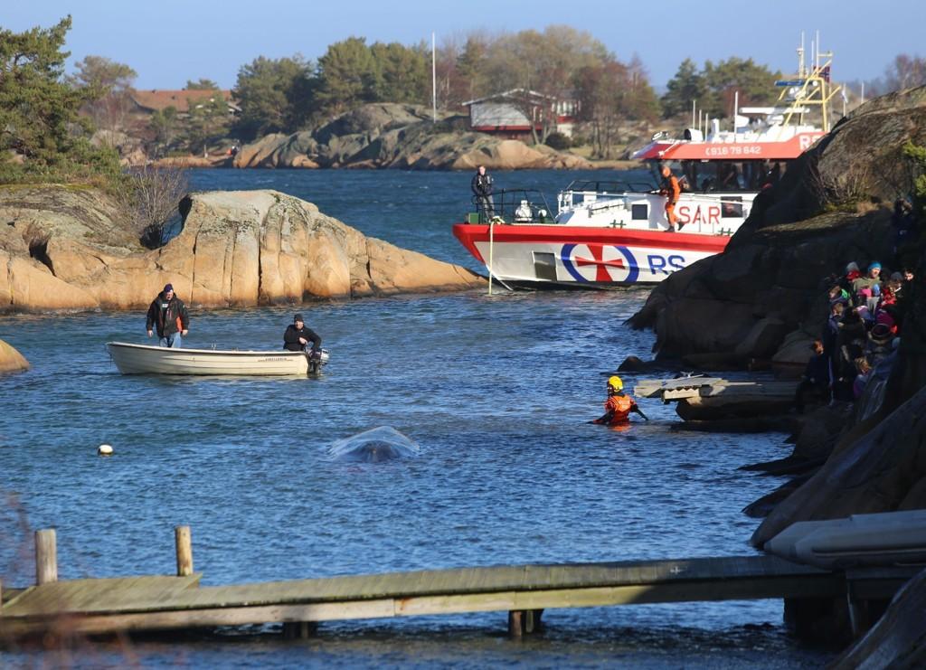 Hvaler 20150310. En redningsskøyte med dykkere slet i mange timer for å få finnhvalen løs på grunt vann på Vesterøy i Hvaler kommune i Østfold.