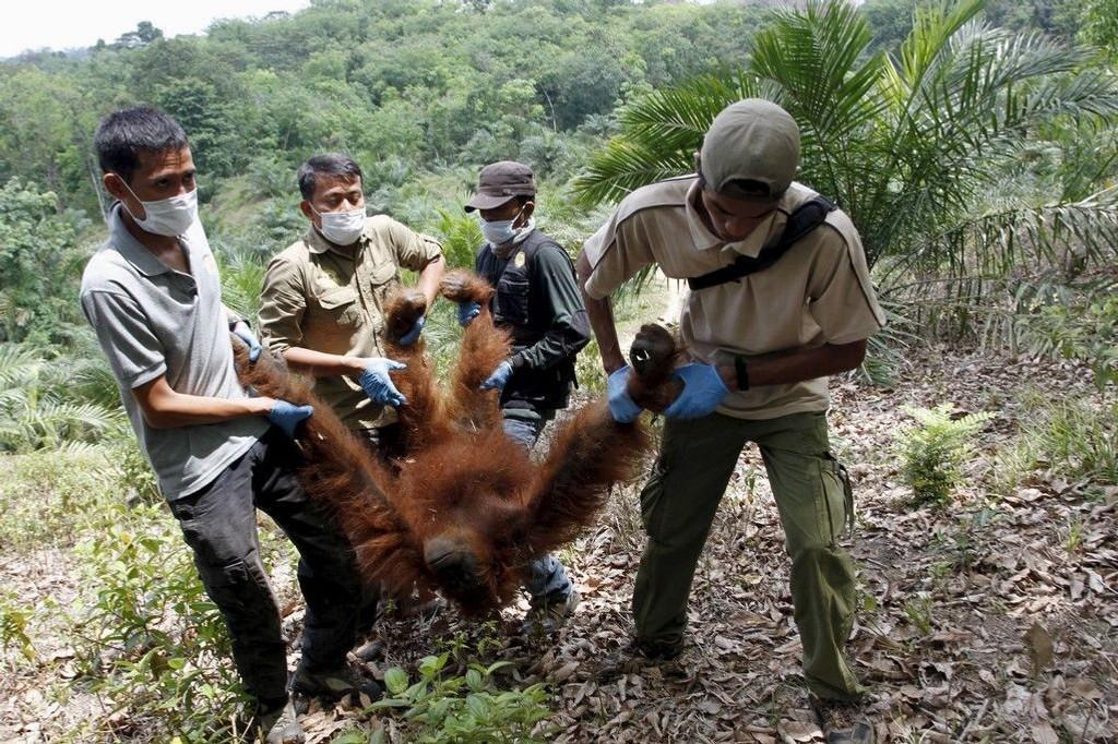 Folk fra Orangutan Foundation Lestari og Orangutan Information Centre på den indonesiske øya Sumatra evakuerer en orangutang som ble funnet isolert på en palmeoljeplantasje i landsbyen Kuala Musam nylig. Avskogingen i Indonesia er ikke bare et klimaproblem – den truer også et unikt dyre- og planteliv.