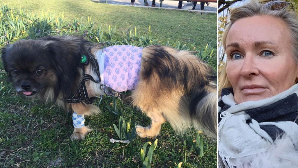 NESTEN DREPT: Den tibetansk spanielen Tyson (9) skal ha blitt angrepet av en stor hund og nesten drept på Sagene for to uker siden. Eier Trine Jakobsen trodde hun skulle miste ham. Foto: Privat