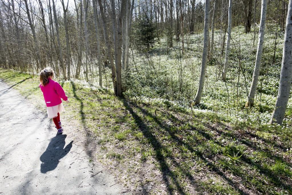 Våren kommer tidligere. Her blomstrer hvitveisen i Trondheim i begynnelsen av mai. Foto: Gorm Kallestad / NTB scanpix