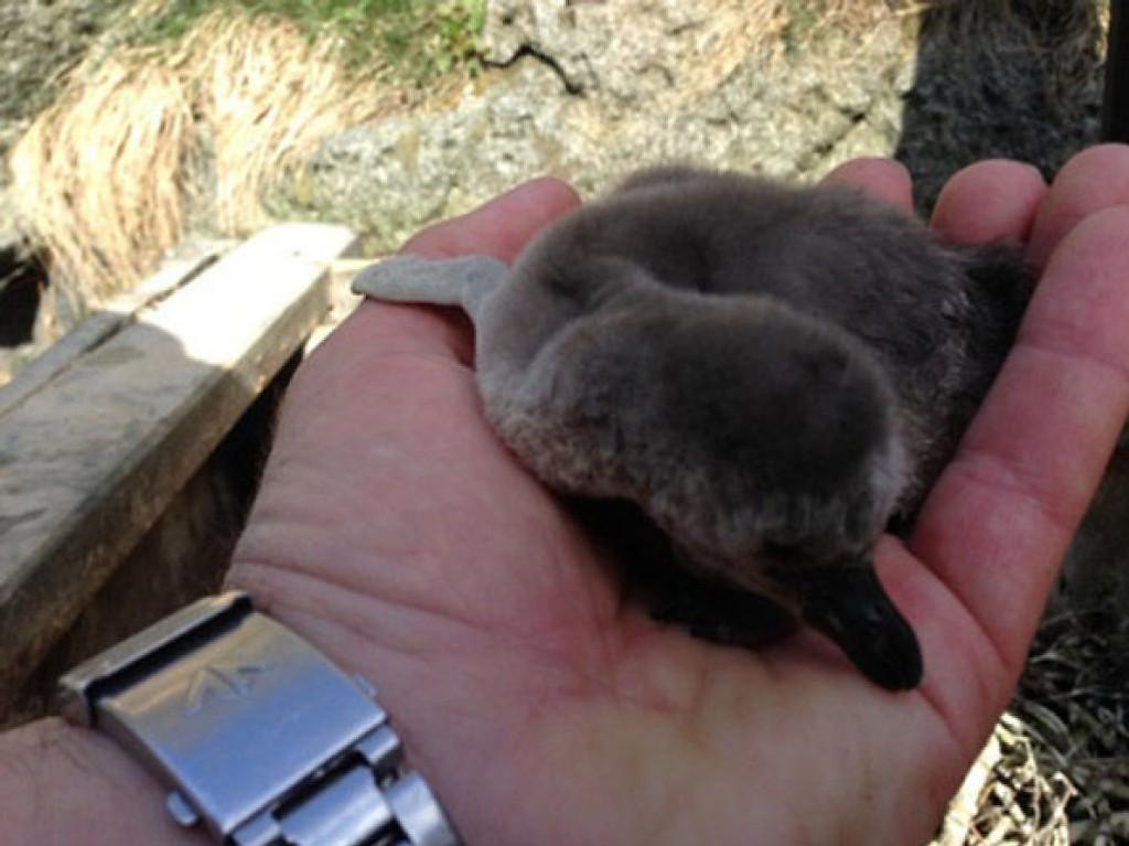 To av pingvinungene ble funnet døde inne i Atlanterhavsparken mandag. Trolig er de trampet i hjel av de voksne pingvinene.