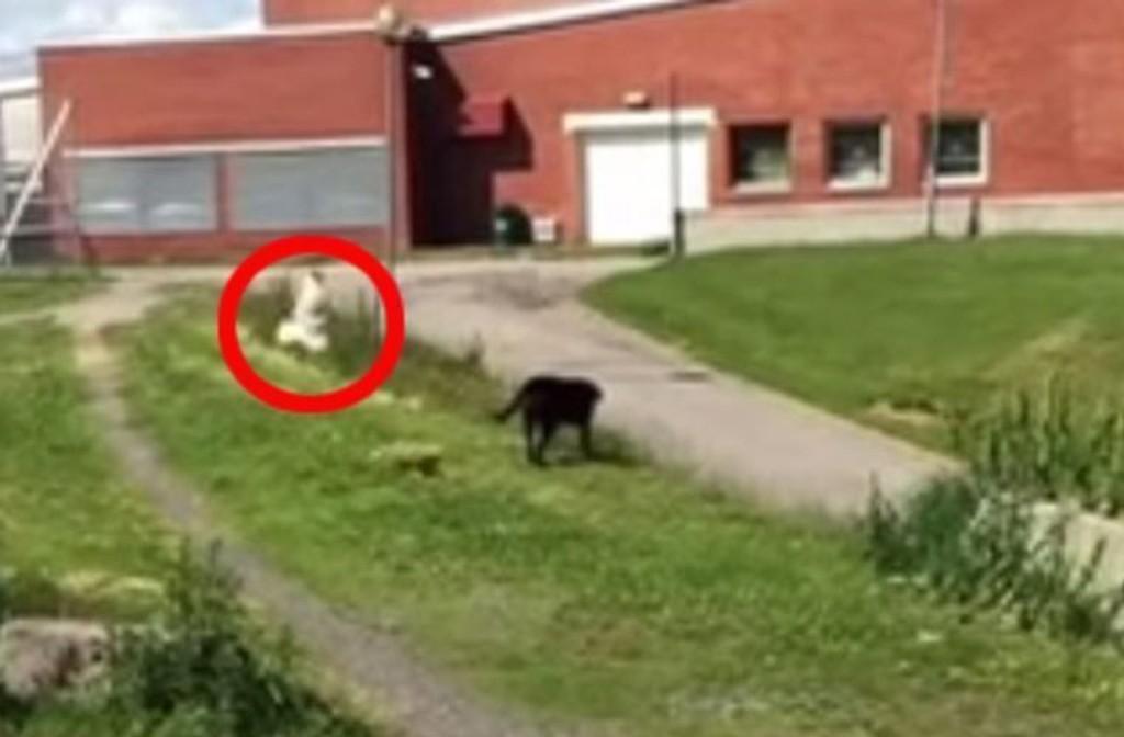 Stakkars hunden Nyx får kjenne på hvor beskyttende måkeforeldre kan være.