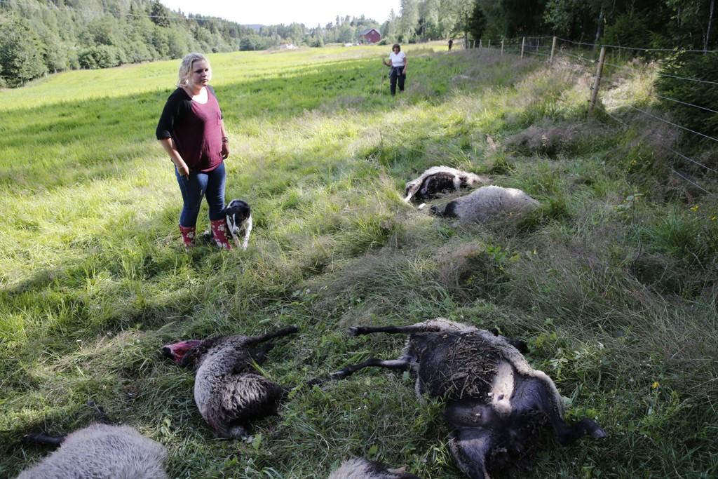 Familien Buer på Kjepperud gård i Ytre Enebakk fortviler etter at ulv har angrepet og drept et tyvetalls sauer på gården som ligger inntil Østmarka i Akershus.
