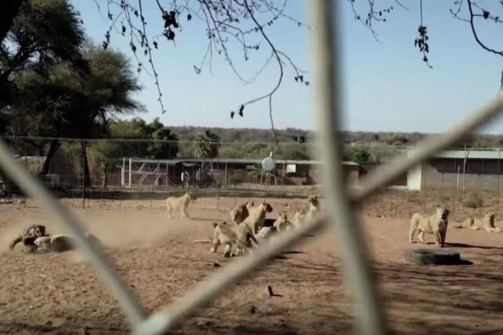 LØVEFARM: Disse løvene blir alet opp for å selges som jaktbytter.