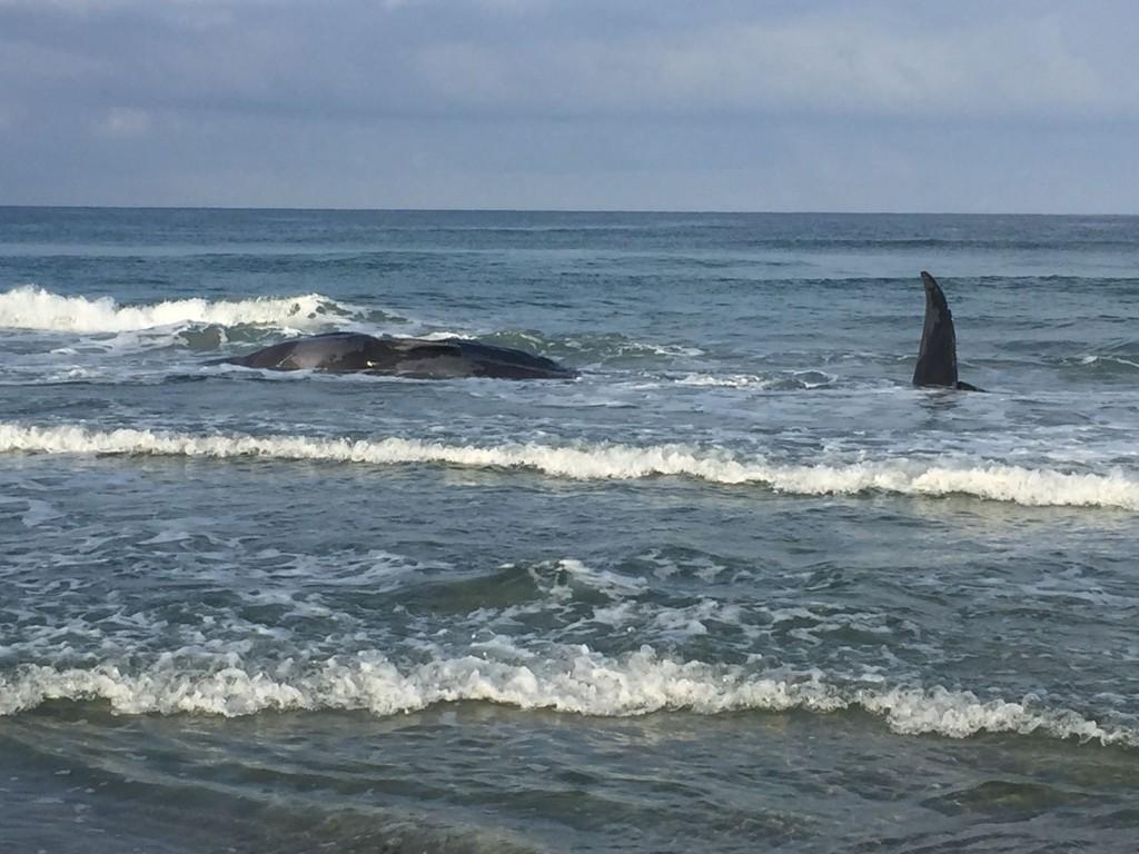 STRANDET: En strandet hval ble funnet av turgåere på Hellestøstranden i Sola kommune søndag formiddag. Foto: Rogaland politidistrikt
