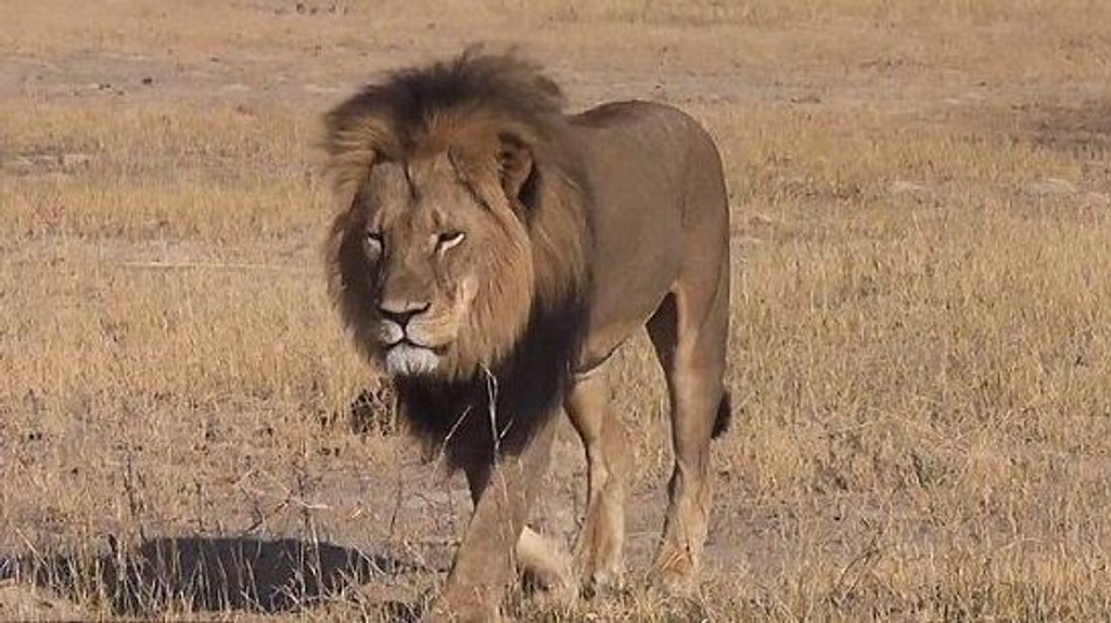 DREPT: Den radiomerkede «kjendisløven» Cecil ble skutt og drept med pil og bue. Dette skapte sterke reaksjoner da det ble kjent.