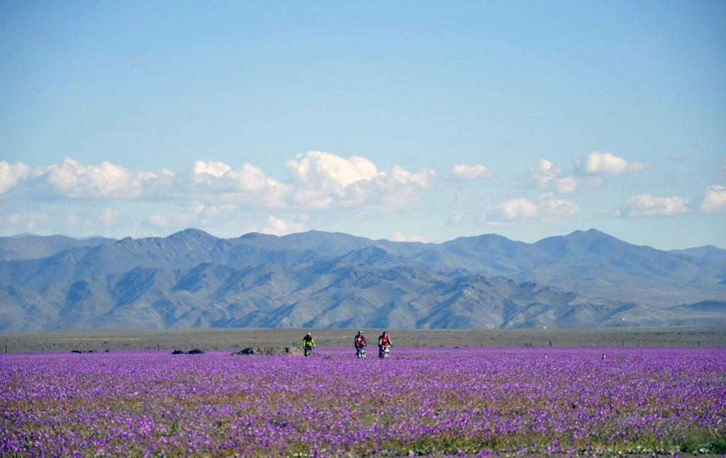 Gule, røde, lilla og hvite blomster har dekket de normalt nakne landskapene i Atacama, hvor temperaturene på denne tiden av året ligger på rundt 40 varmegrader.