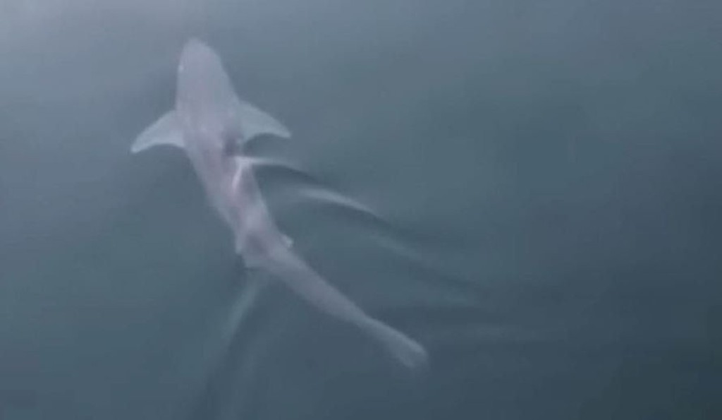 Pigghåen, som er utrydningstruet, var rundt 75 cm lang.