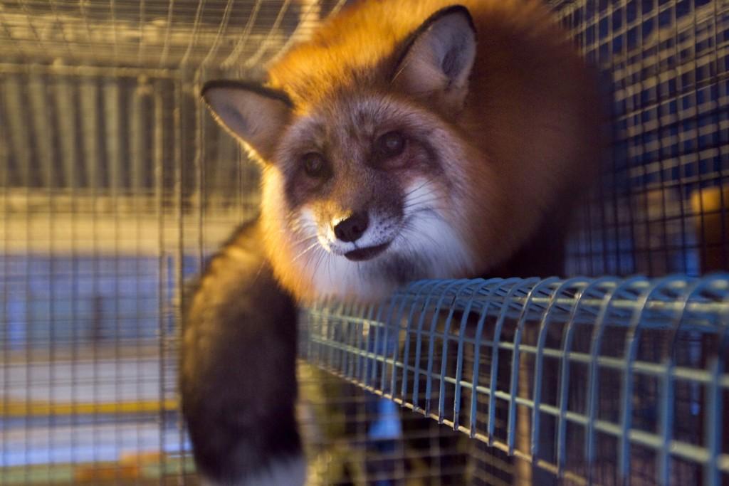 FORTSATT I BUR: Stortinget sier fremdeles ja til pelsdyropptrett, som denne gullreven på en pelsdyrgård ved Gjøvik.