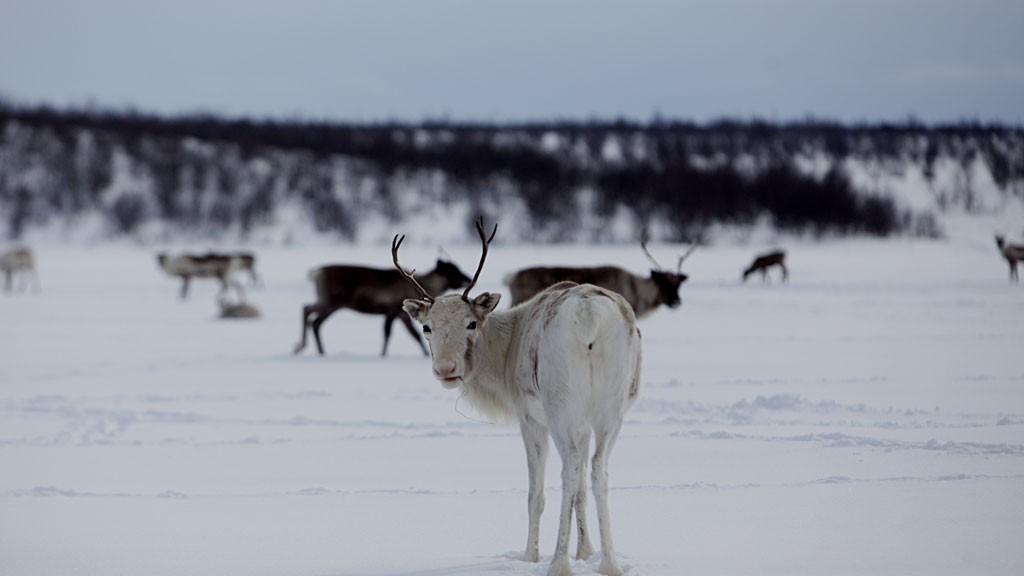 REIN KAN STOPPE GRUVE: Reineierne snur ryggen til planene om å anlegge kobbergruve i Steinfjellet i Finnmark.