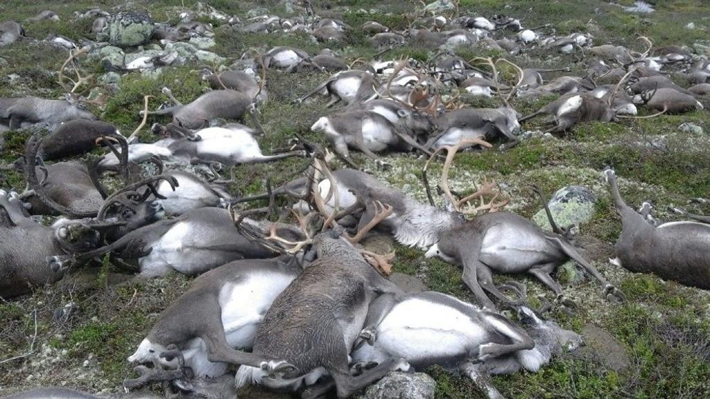 322 villrein ble funnet døde på Hardangervidda mellom Møsvatn og Kalhovd i Telemark fredag kveld. Trolig ble alle drept i et lynnedslag.