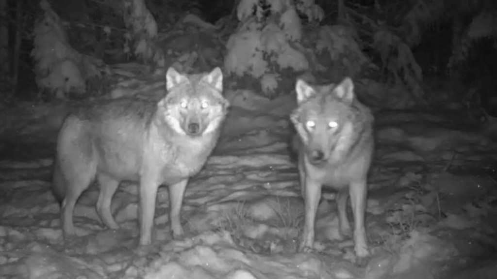 ULV: Forskning basert på GPS-sendere som dyrene nylig fikk på seg viser at ulvene kommer nærmere hus etter mørkets frambrudd. Her er et ulvepar som har funnet sammen i Østmarka.