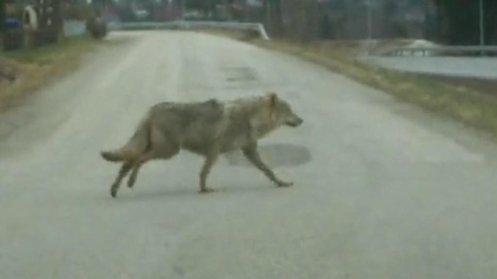 FOLKSOMT: Ulven krysset veien i bedagelig tempo, et sted der det ofte sykler og går både voksne og barn.