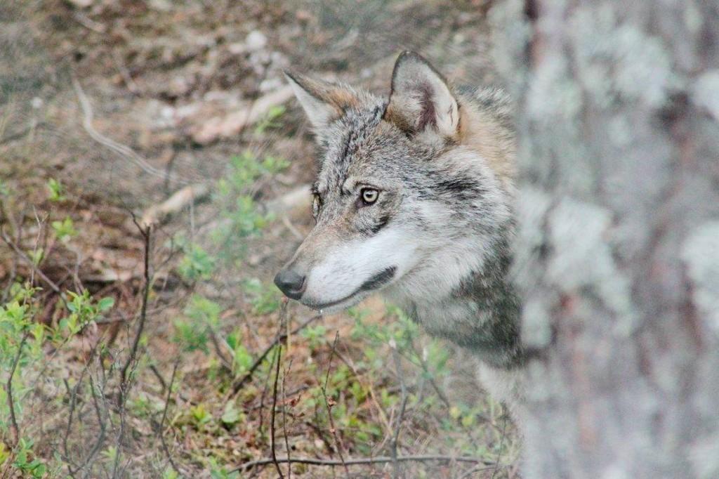BESTANDSMÅLET NÅDD: Så langt i år er det påvist fire ulvekull i helnorske revir og seks kull i grenserevir mellom Norge og Sverige. Dermed er bestandsmålet nådd.
