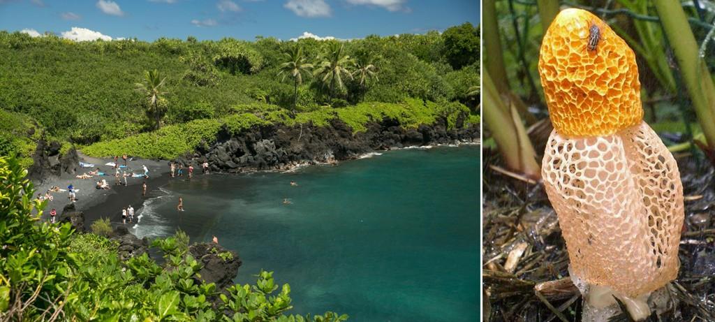 ORGASME-SOPP: Soppen, som tilhører Dictyophora-familien, vokser kun på mellom 600 og 10.000 år gammel lavagrunn på Hawaii, skal angivelig gi kvinner orgasme øyeblikket. Illustrert ved Phallus Multicolor som er i samme familie.