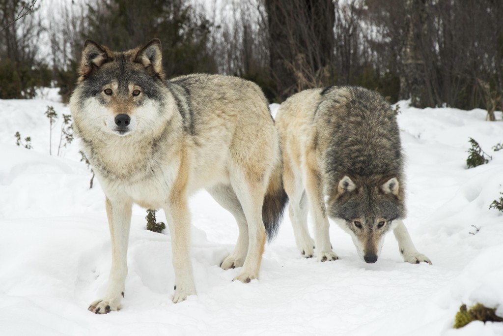Både Osdalsflokken og Julussaflokken blir utryddet hvis innstillingen til neste års lisensjakt på ulv blir vedtatt.