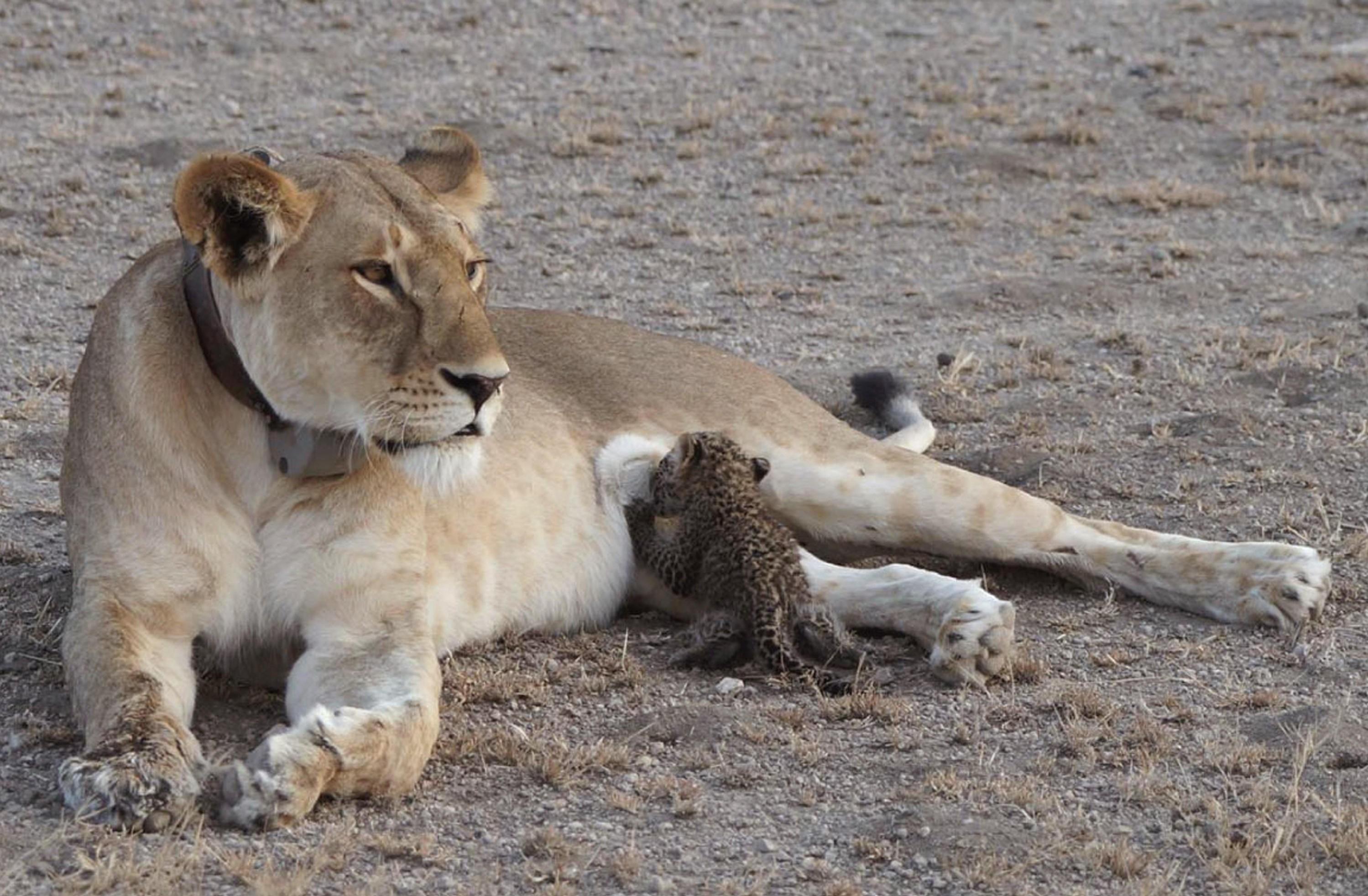 Hendelsen ble fotografert av en gjest ved naturreservatet Ngorongoro.