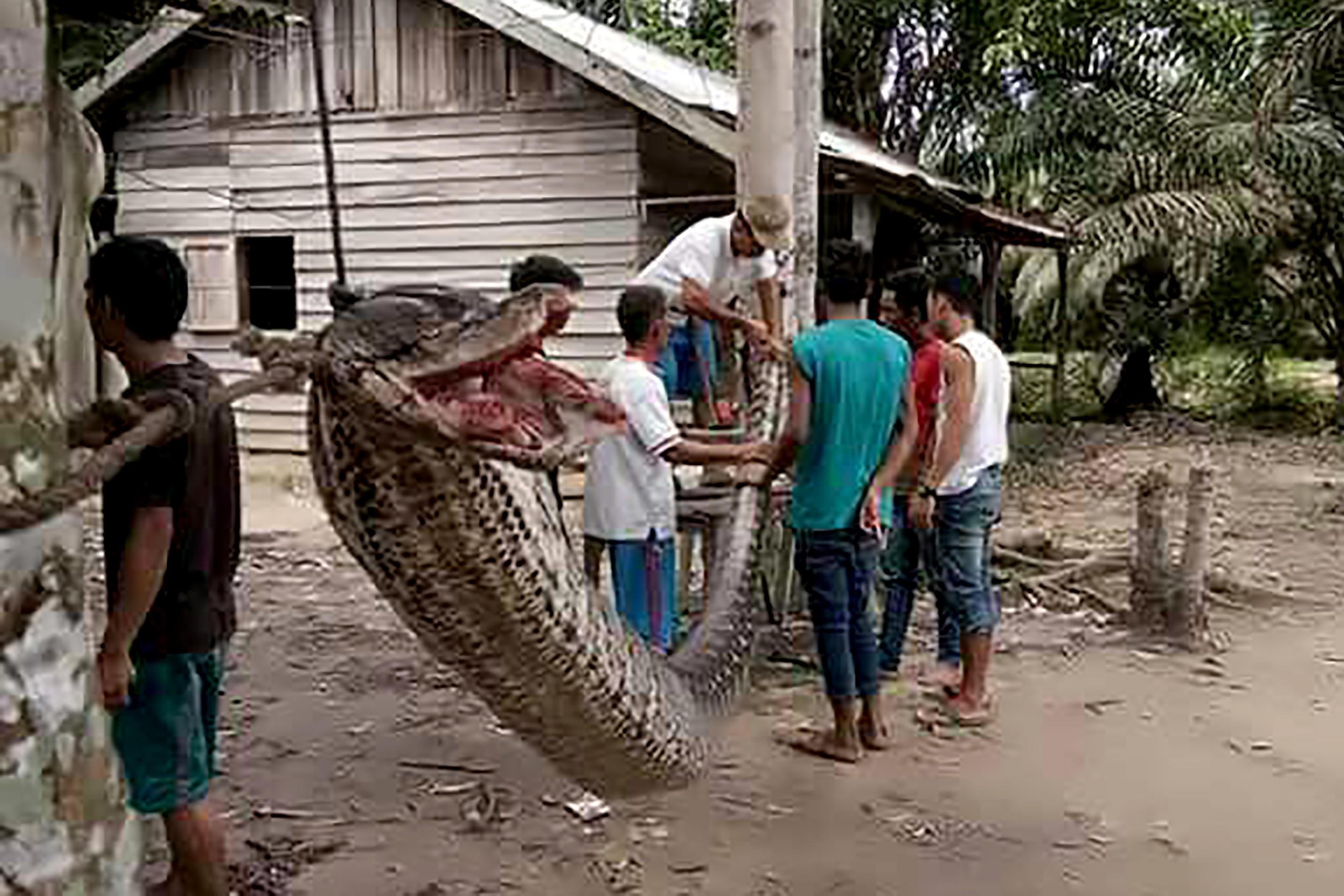 ENORM SLANGE: En syv meter lang pytonslange prøvde seg på den 37 år gamle indonesieren Robert Nababan. Endte opp som middagsmat. Bildet er tatt 30. september og frigitt av politiet i Batang Gansal 4. oktober 2017.