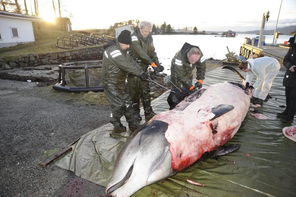 SLÅR ALARM: Forskere fant 30 plastposer i magen på denne gåsenebbhvalen på Sotra i Hordaland på nyåret. Dermed måtte den avlives.