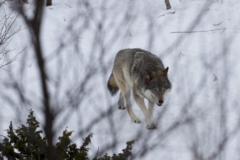 LISENSJAKT: I fjor ble gitt tillatelse til å felle 47 ulver, noe som senere ble redusert til 15 av departementet. Åtte ble skutt under lisensjakten og seks av hensyn til skadebegrensning. Illustrasjonsbilde.