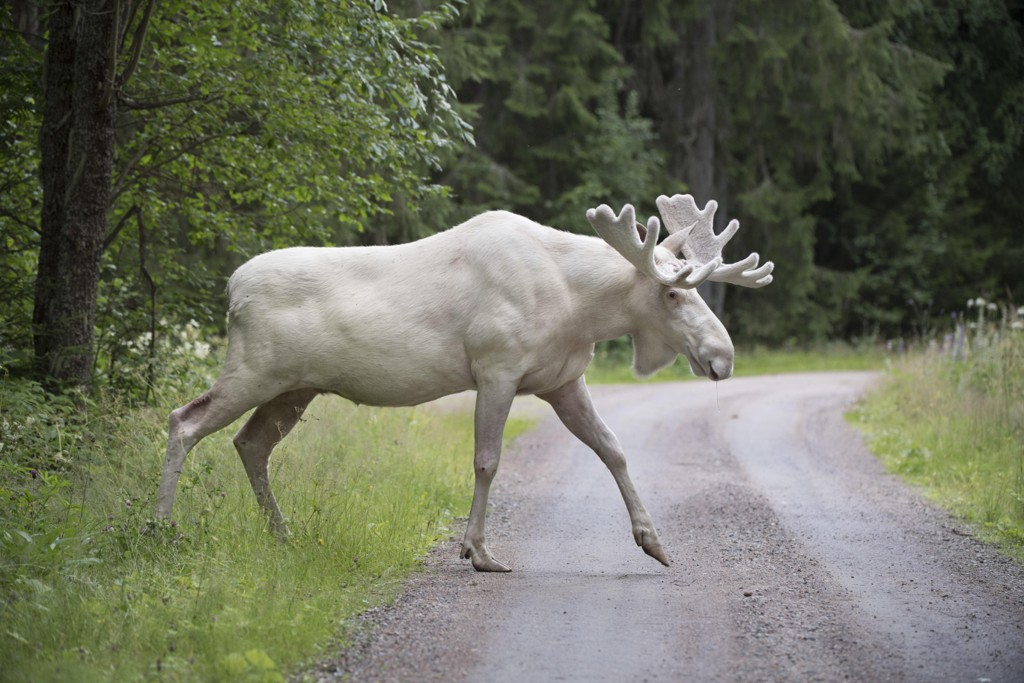 FÅR LEVE: Den hvite elgen oppholder seg i Gunnarskog i Värmland.