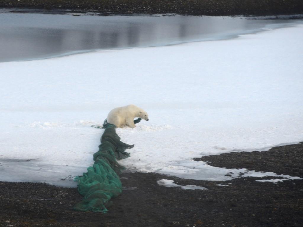 Forskere fra Polarinstituttet var med Sysselmannen for å frigjøre hunnbjørnen som satt fast med det ene øret i en svær reketrål i Sorgfjorden på Svalbard. Trålen som trolig veide mer enn 100 kilogram, hadde binna klart å slepe fra strandsonen flere hundre meter opp på tundraen. Dyret klarte selv å frigjøre seg da helikopteret nærmet seg.