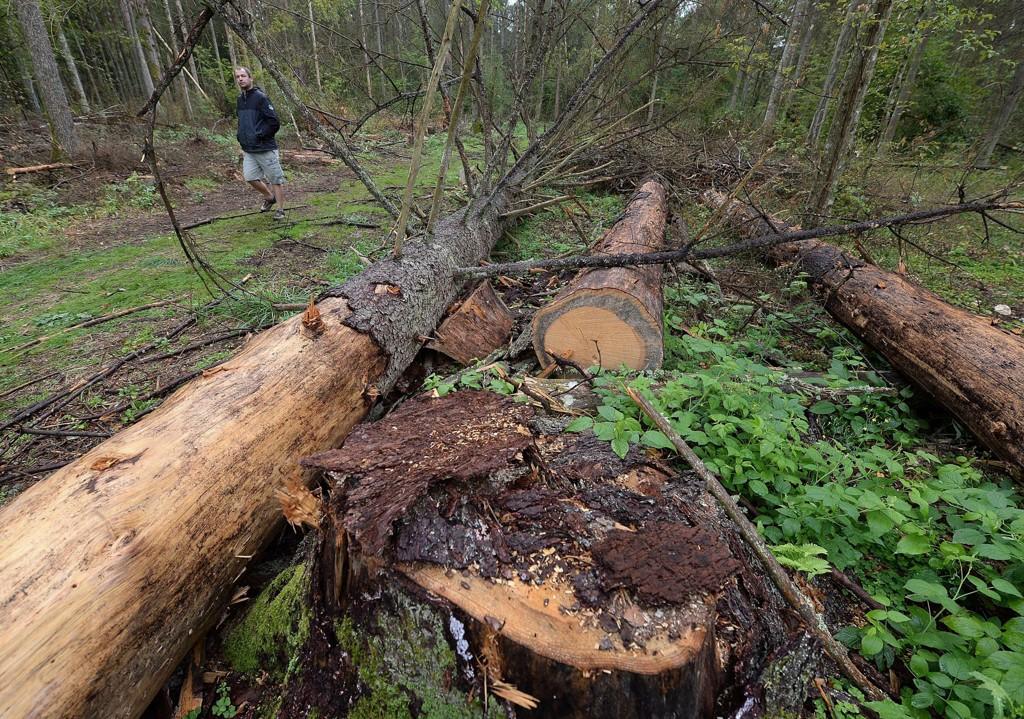 Polske miljøvernere har protestert mot hogsten i Bialowieza-skogen. Nå har EU-domstolen slått fast at hogsten var et brudd på EUs lover. Foto: Czarek Sokolowski / AP / NTB scanpix