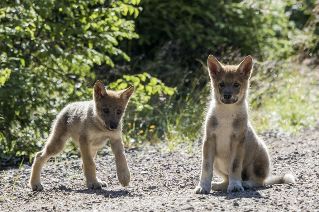 Sverige vil ikke innføre lisensjakt på ulv kommende vinter, noe Miljødirektoratet i Norge tror kan føre til at flere dyr vil komme på streif over grensen til Norge. Disse to ble født i 2017. Illustrasjonsfoto: Terje Håheim / NTB scanpix