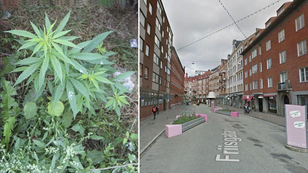 CANNABIS I KOMMUNALE BED: Her i Friisgatan i Malmø hadde cannabisplanten vokset seg stor før kommunen oppdaget hva det var.