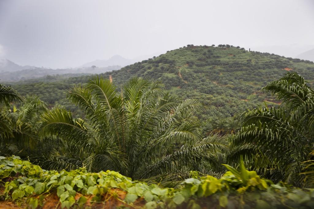 Mye skog hogges som følge av palmeoljeutvinning. Her et bilde fra skog på den indonesiske øya Sumatra. Foto: Heiko Junge / NTB scanpix