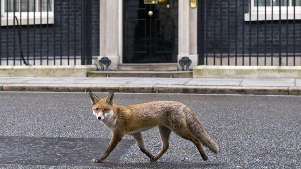 TAR NATTEN: Reven er blant dyrene som har vært med i studien. Her er en rev som spaserer forbi statsministerboligen i London i den tiden på døgnet når mennesker ikke dominerer den vanligvis så travle Downing Street.