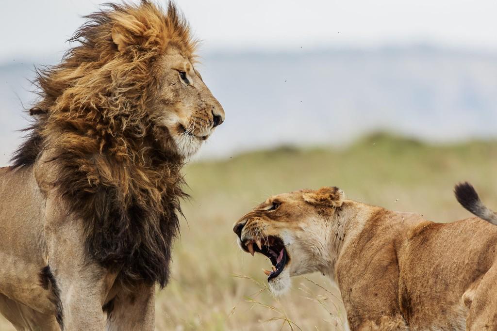 DREPT: Minst to antatte krypskyttere på jakt etter neshorn skal ha blitt drept av løver iSibuya-reservatet i Sør-Afrika.