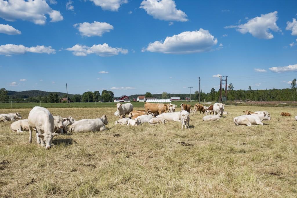 Tørke og fôrmangel truer norske bønder. Foto: Tor Erik Schrøder / NTB scanpix