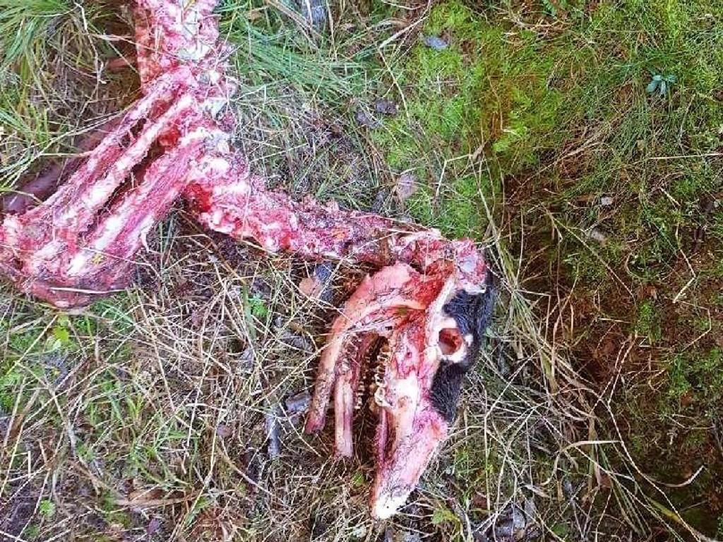 ELGKADAVER: Kadaveret etter elgkalven ble funnet ved Sognsvan i Nordmarka. Ifølge ekspertene ble elgen tatt av ulv i løpet av helgen.