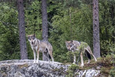 Ulver i Bjørneparken i Flå. Foto: Paul Kleiven / NTB scanpix